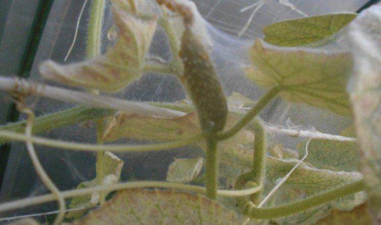 Наличие светлой паутины свидетельствует о появлении паразита