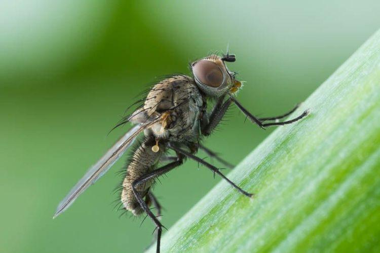 Взрослая особь луковой мухи