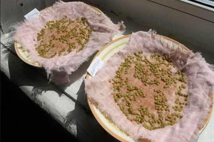 Замачивание семян томатов в борной кислоте