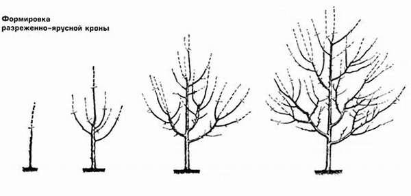 Схема обрезки разреженно-ярусной кроны