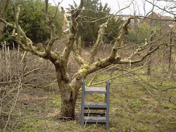 Обрезка старого абрикосового дерева