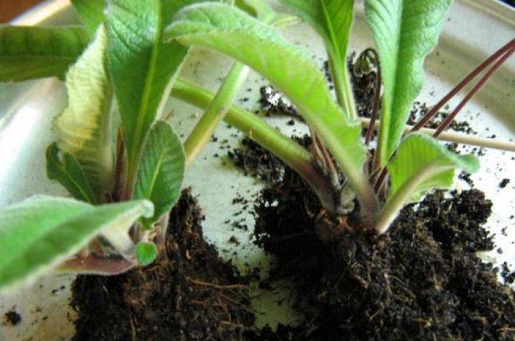 Размножение стрептокарпуса делением куста