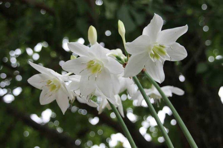 Эухарис белый (Eucharis candida)