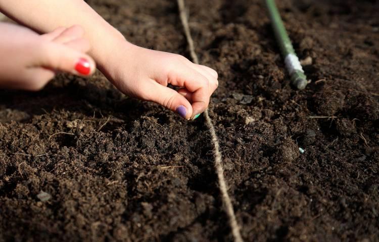 посадка семян эшшольции осенью в грунт