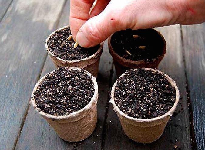 Шток-роза: выращивание из семян