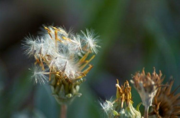 Гацания выращивание из семян
