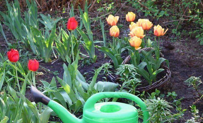 Когда весной сажать тюльпаны в открытый грунт