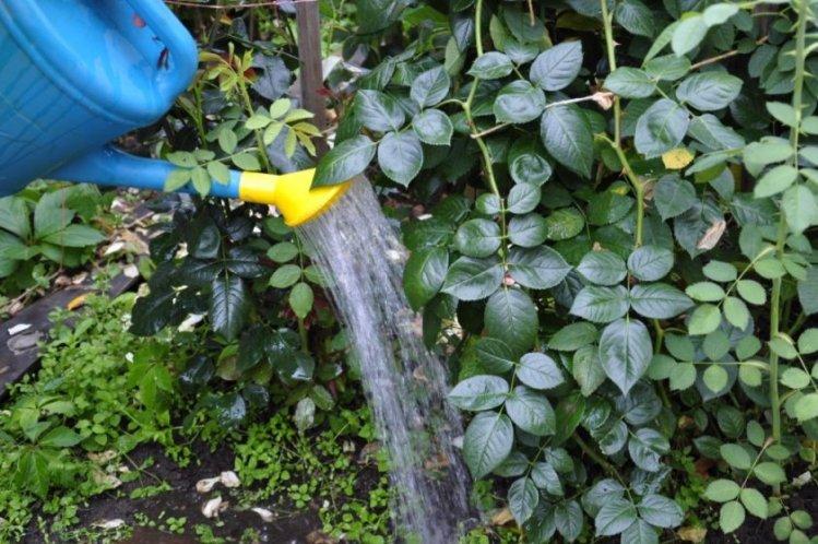Полив садовых роз