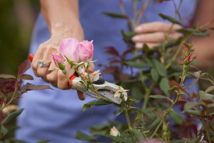 Как правильно ухаживать за розами