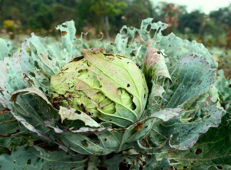 Чем обработать капусту от блошки