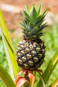 Pineapple fruit facts