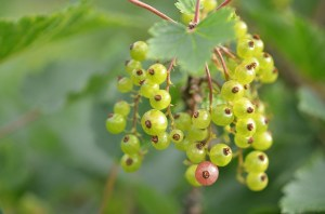 Currants Fruit nutrition facts