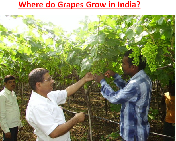 Where do Grapes Grow in India?