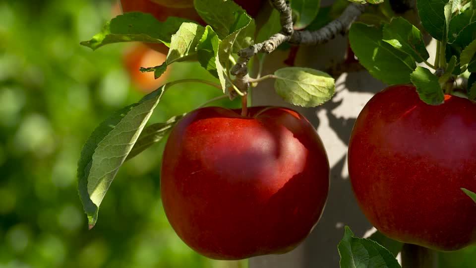 December 31-ig lehet elvégezni a gyümölcsültetvény-bejelentést