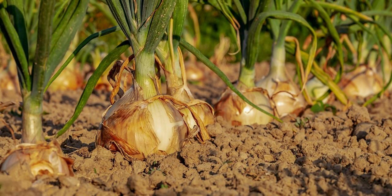 Kedvezőtlenül érinti az aszály a gyümölcs- és zöldségtermő területeket