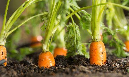 A gyökérzöldségek termesztéséhez ideális az éghajlatunk, alkalmasak a talajaink is