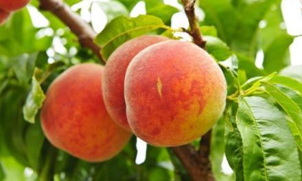 Csehországi szakmai út gyümölcstermesztőknek (2019.07.16-19.)