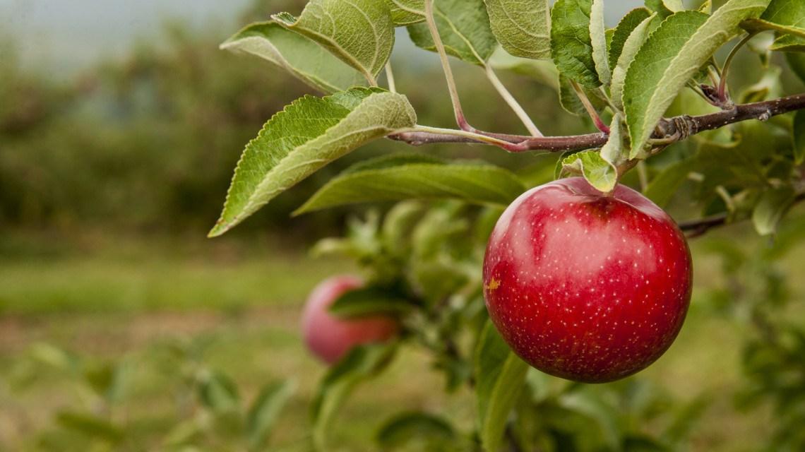 Van, ahol kisebbek lesznek idén az almák