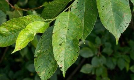 Növényvédelmi előrejelzés – Hőségben rövidül a szerek hatástartama