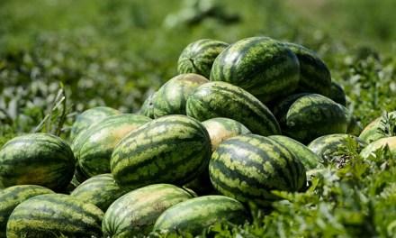Összehasonlító elemzés a dinnye termőterületéről és várható termésmennyiségről 2019. július 18.