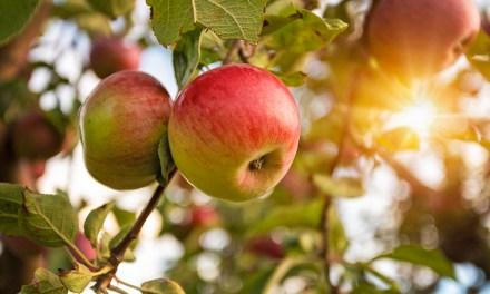 Ellenálló almafajták