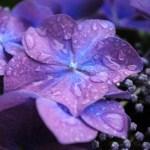 雨にぬれるアジサイ