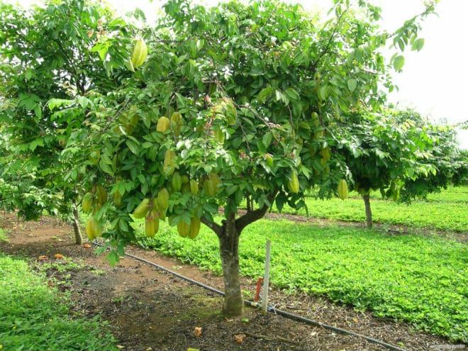 Evergreen Carambola ağacı.