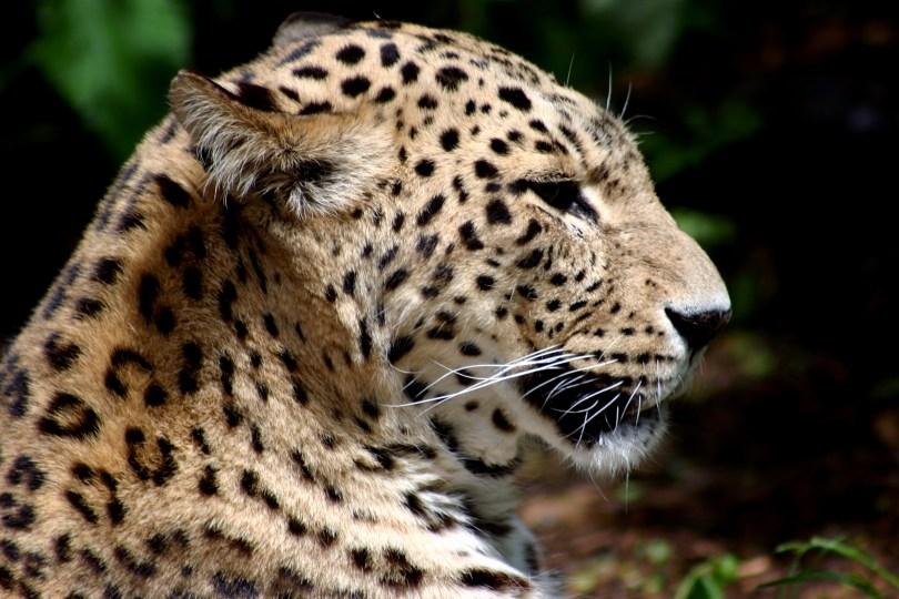Leopard shot for carnivores
