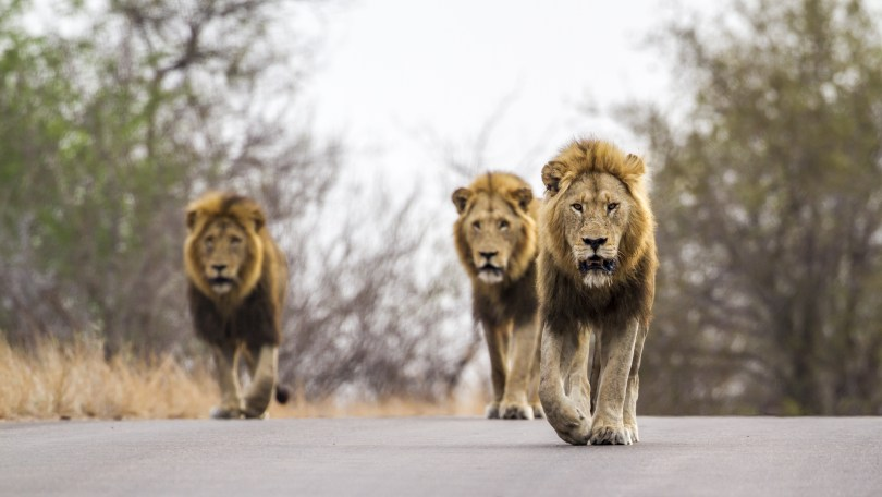 This image has an empty alt attribute; its file name is lions-on-road--1024x576.jpg