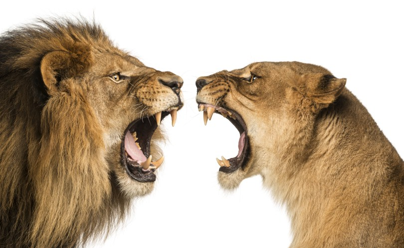 This image has an empty alt attribute; its file name is two-lions-dreamstime_xxl_39254651-1024x631.jpg