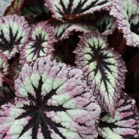 Beguiled by Begonias