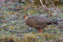 Female Blood Pheasant, Comparatively very drab looking except for the red legs and feet.