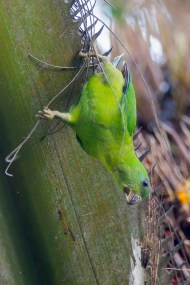 This juvenile shows why it is called a Hanging Parrot. The bill is horn coloured and the legs are dullish yellow.