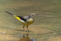 It is hard to show in a single photo why it is called a wagtail. Flip between this photo and the next to find out more.