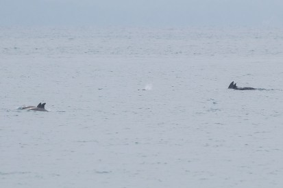 My first wild dolphins encounter in Singapore on 1 October 2011. A pod of 5 dolphins, with the middle one blowing out air and water out of its blowhole. On the horizon is Batam Island.