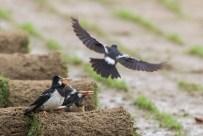 The third party myna fly menacingly low towards the pair with the feet touching the soil.