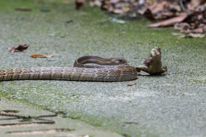 Snake-Malesian