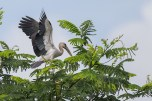 Landing on an albizia tree nearby after a meal. The openbills have been observed to roost at the trees for protection.