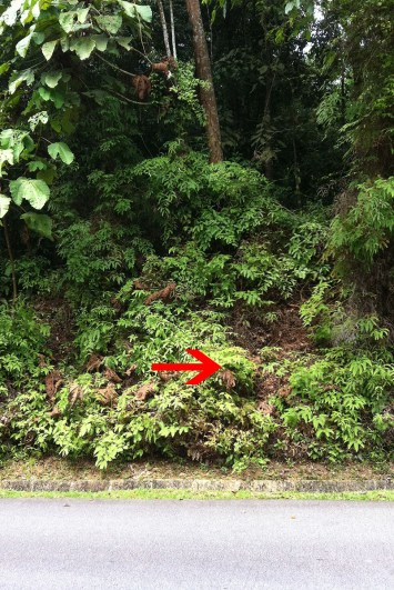 The red arrow indicate the position of the nest. In the video accompanying this article, you can make out the broad dead leaf that is pictured here.