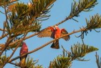 In the evening, the Galahs communally gather on trees. This one is shown with wing spread with the warm tones of the setting sun.
