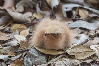 A recently hatched Large-tailed Nightjar chick at Saddle Club, Eng Neo Avenue. It was very difficult to spot it on a patch of leaf litter and rocks.