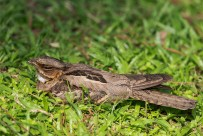 A female Large-tailed Nightjar incubating eggs at a patch of grass in Japanese Garden