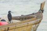 A heron on a boat awaiting the corrct tide level at West Coast Park.