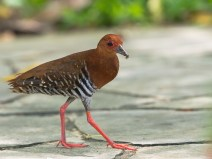 An adult Red-legged Crake (Rallina fasciata) at Singapore Botanic Gardens. It is a breeding resident in Singapore.