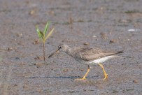 The Grey-tailed Tattler on land, showing how short its legs are. This was taken on 5 September 2014.