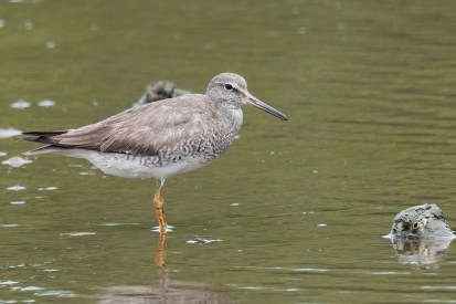 Adult Grey-tailed Tattler moulting out of breeding plumage. Taken at SBWR on 6 September 2014.