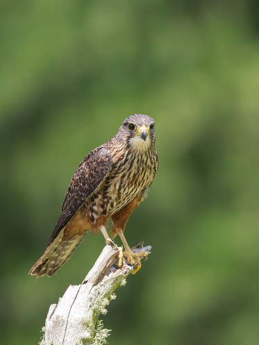 Male New Zealand Falcon, perching high up on a tall tree branch.
