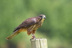 The female New Zealand Falcon, larger in comparison to the male, and a bit darker and browner as well.