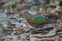 Common Emerald Dove