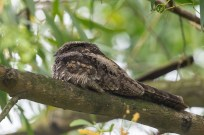 Grey Nightjar